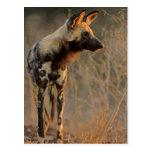 Perro salvaje africano (Lycaon Pictus), Kruger Tarjeta Postal