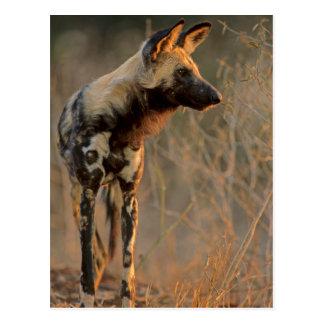 Perro salvaje africano (Lycaon Pictus), Kruger Postal