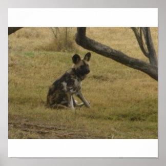 Perro salvaje africano póster