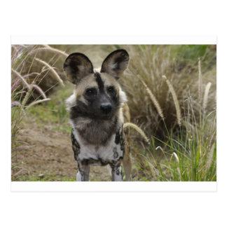 Perro salvaje africano tarjetas postales