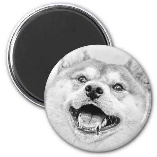 Perro sonriente de Shiba Inu Iman