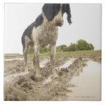 Perro sucio que mira la pelota de tenis en fango azulejos ceramicos
