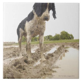 Perro sucio que mira la pelota de tenis en fango azulejo cuadrado grande