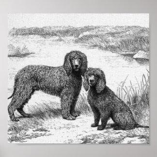 """Perros de aguas de agua irlandesa "" Póster"