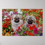 Perros de aguas tibetanos del rojo dos en flores d posters