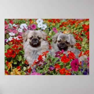 Perros de aguas tibetanos del rojo dos en flores d póster