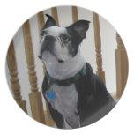 Perros de Boston Terrier Platos