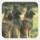 Perros de pastor alemán calcomanía cuadrada personalizada