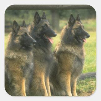 Perros de pastor alemán pegatina cuadrada