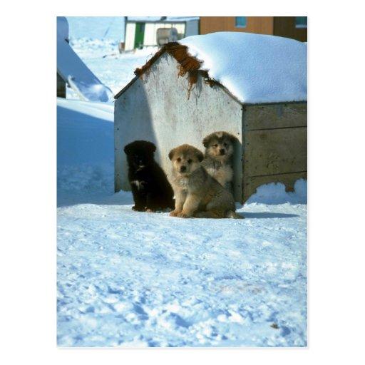 Perros de trineo del bebé, Groenlandia Tarjeta Postal
