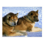 Perros de trineo esquimales canadienses tarjeta postal