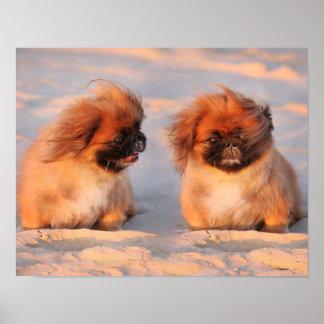 Perros lindos de Pekingese Poster