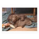Perros perdigueros de bahía de Chesapeake Postal