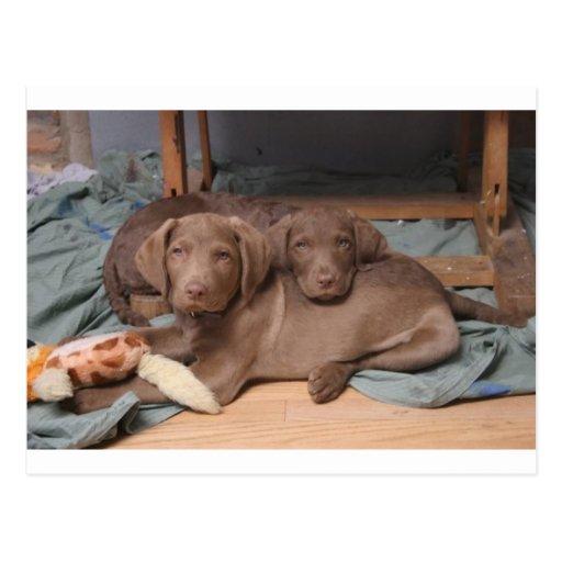 Perros perdigueros de bahía de Chesapeake Tarjeta Postal