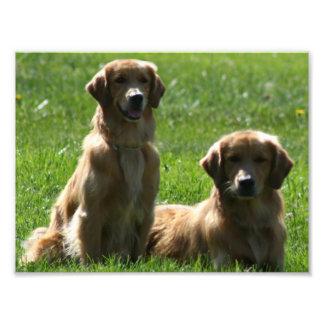 Perros perdigueros de oro cojinete