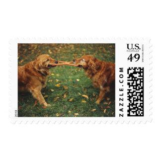 Perros perdigueros de oro que juegan esfuerzo estampilla