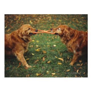 Perros perdigueros de oro que juegan esfuerzo postales