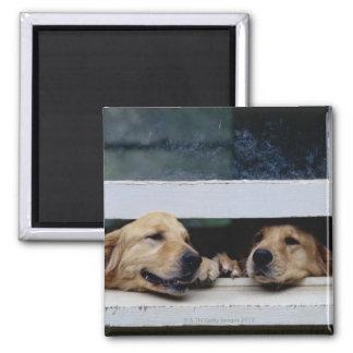 Perros que miran hacia fuera una ventana imán cuadrado