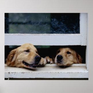 Perros que miran hacia fuera una ventana poster