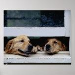 Perros que miran hacia fuera una ventana póster
