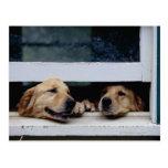 Perros que miran hacia fuera una ventana tarjeta postal