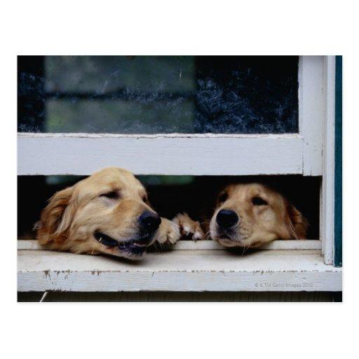 Perros que miran hacia fuera una ventana postal