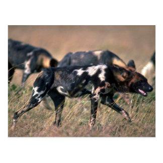 Perros salvajes africanos que cazan en sabana postales