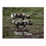 Perros salvajes tarjetas postales