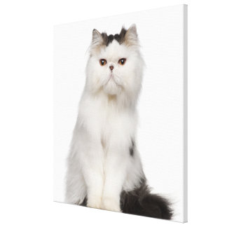 Persian (10 months old) sitting canvas prints