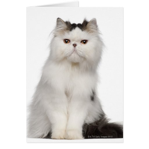 Persian (10 months old) sitting greeting card