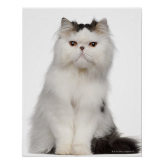 Persian (10 months old) sitting poster