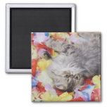 Persian Cat, Felis catus, Brown Tabby, Kitten, 2 2 Inch Square Magnet
