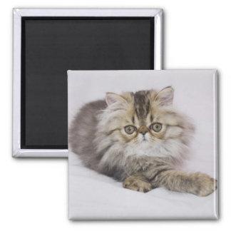 Persian Cat, Felis catus, Brown Tabby, Kitten, 2 Inch Square Magnet