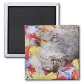 Persian Cat, Felis catus, Brown Tabby, Kitten, 2 Magnet