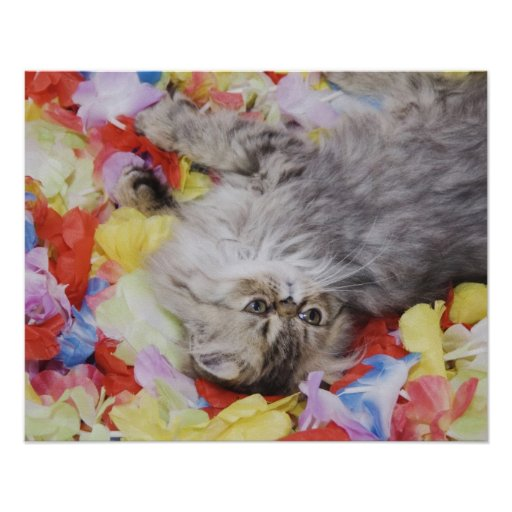 Persian Cat, Felis catus, Brown Tabby, Kitten, 2 Poster