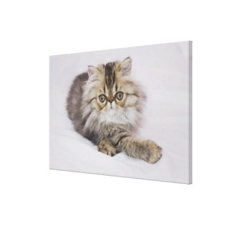 Persian Cat, Felis catus, Brown Tabby, Kitten, Canvas Print