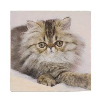 Persian Cat, Felis catus, Brown Tabby, Kitten, Maple Wood Coaster