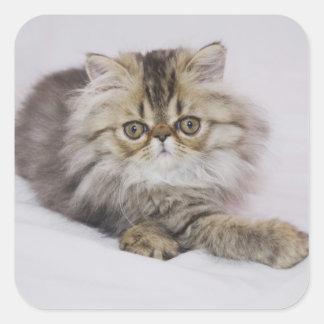 Persian Cat, Felis catus, Brown Tabby, Kitten, Square Sticker