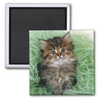 Persian cat; is one of the oldest breeds of cat. 2 inch square magnet