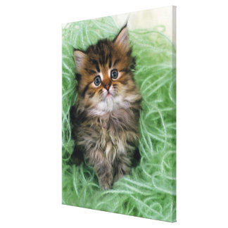 Persian cat; is one of the oldest breeds of cat. canvas print