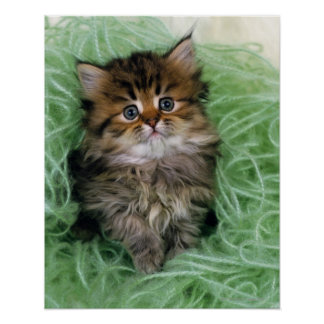 Persian cat; is one of the oldest breeds of cat. poster