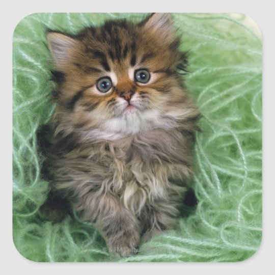 Persian cat; is one of the oldest breeds of cat. square sticker
