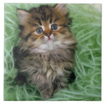 Persian cat; is one of the oldest breeds of cat. large square tile