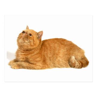 Persian cat postcard