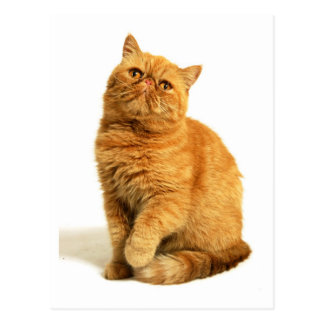 Persian cat postcards
