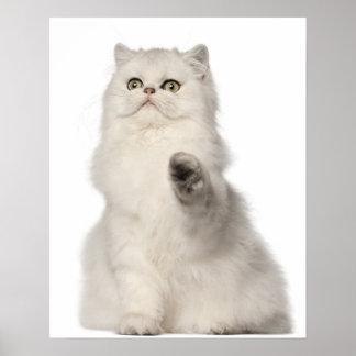 Persian cat sitting poster
