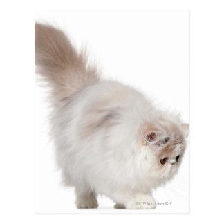 Persian kitten (3 months old) postcard