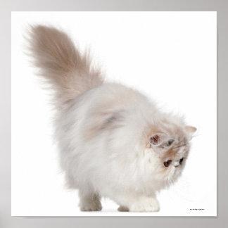 Persian kitten (3 months old) poster