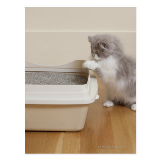 Persian Kitten looking at litter box Postcard