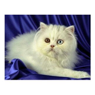 Persian, odd-eyed white post card